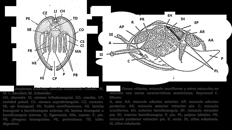 Coquina, Tellina … Donax trunculus – coquinas, tellinas, tellerinas.